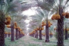 palmeraie iran