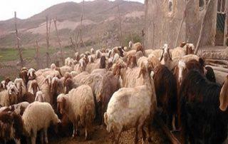moutons eau iran